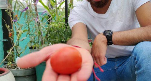 Todo sobre cultivar jitomate en casa.